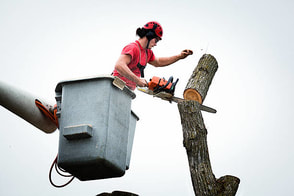 contractor cutting down a tree